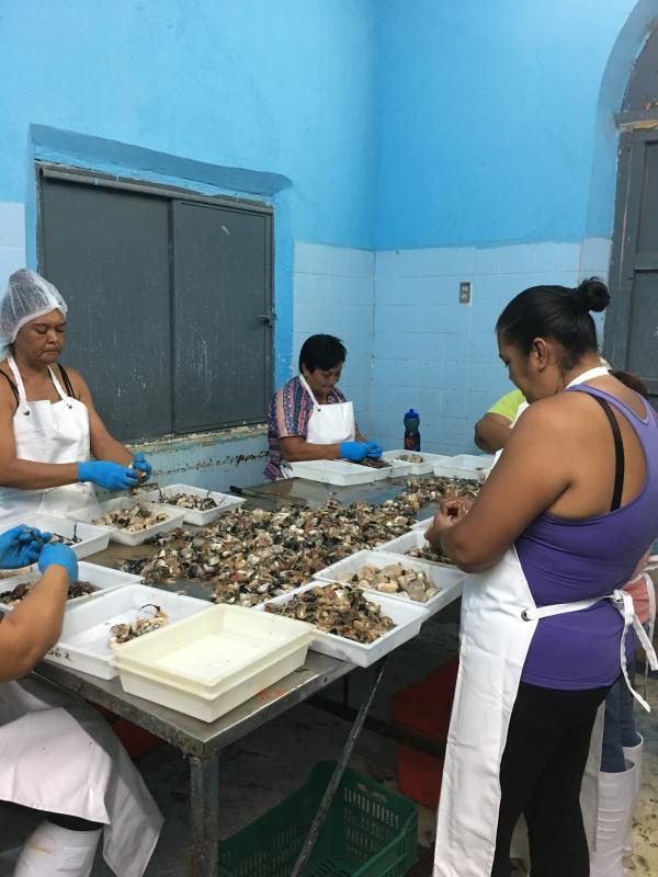 Pen shells being processed in El Manglito, Mexico. About five years ago, this community ran out of its most popular clam because of overfishing copyrightAuhor